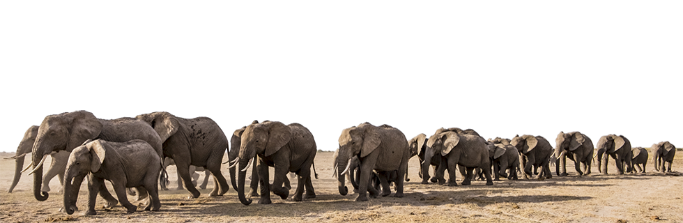 Home Big Life Foundation African bush elephant asian elephant african forest elephant, elephant hd png. https biglife org