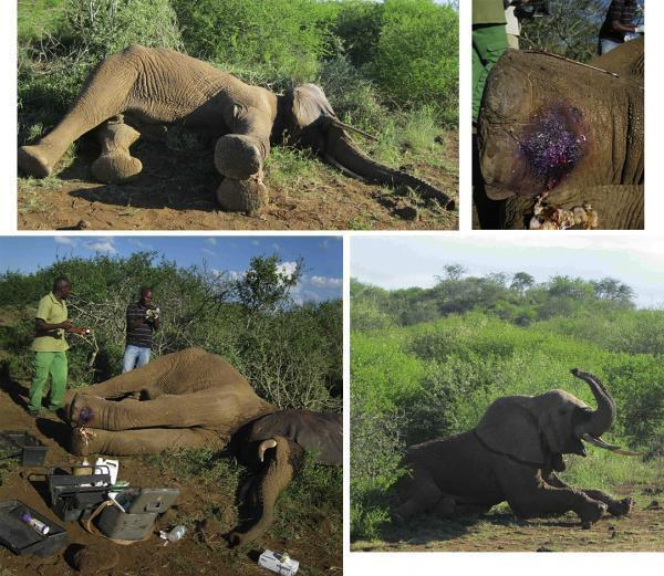 110310 1 1 Elephant Injured by Crossbow Trap Successfully Treated March 2011