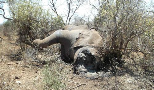 111022 1 1 Body of Elephant Recently Killed by Poachers Sept 2011