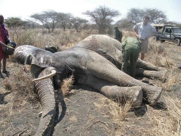 130920 1 1 Two Crop Raiding Elephants Found and Treated for Spear Wounds
