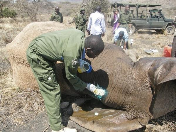 130920 1 2 Two Crop Raiding Elephants Found and Treated for Spear Wounds