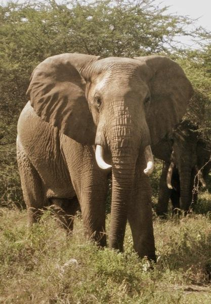 130920 1 3 Two Crop Raiding Elephants Found and Treated for Spear Wounds
