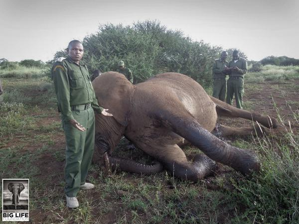 140324 1 1 Pregnant Elephant Speared to Death in Amboseli