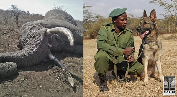 141017 1 1 Big Life Tanzania Tracker Dogs Lead to Arrest of Latest Elephant Killers