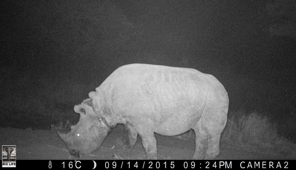 150916 1 1 Rangers Race Against Time to Rescue Snared Rhino Calf