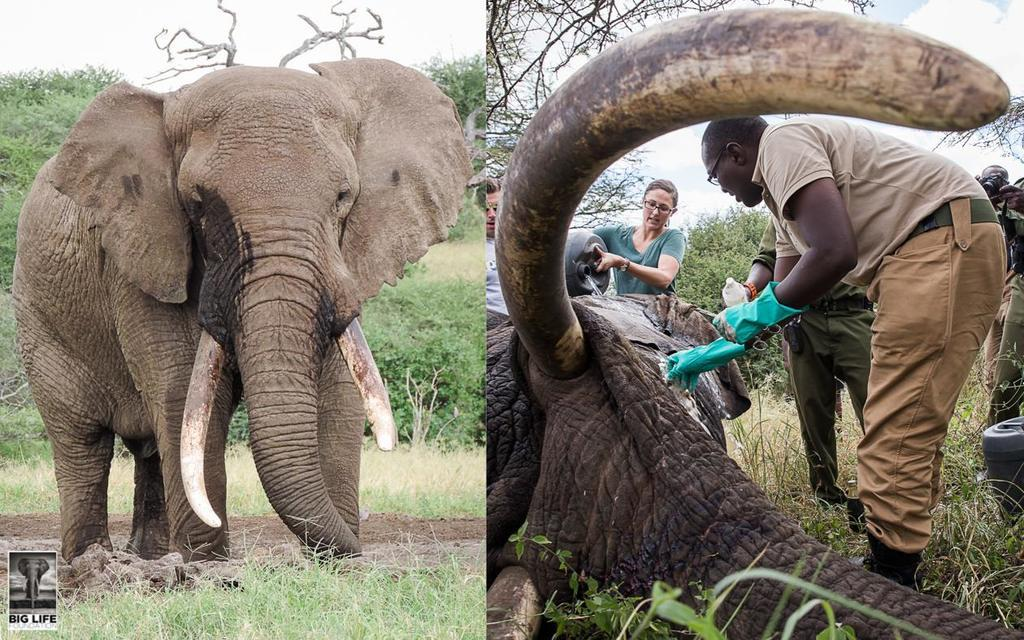 160601 1 1 Speared Elephant Treated in Record Time