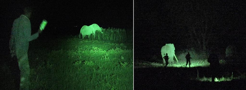 Rangers chase Tim - the biggest tusker in the ecosystem - out of a farmer's maize crop