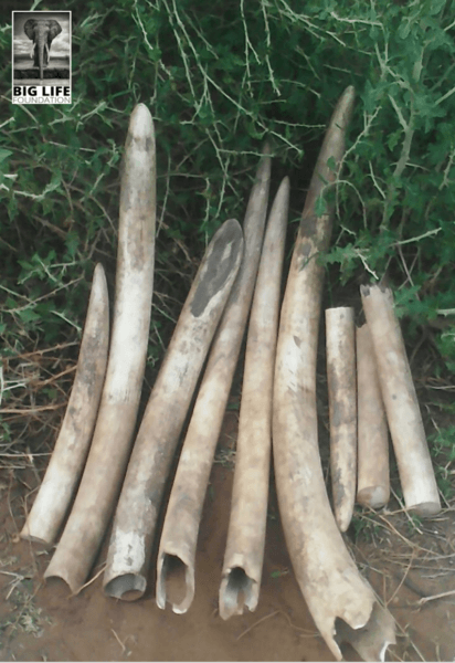 Poachers Caught - Ivory From Four Dead Elephants Confiscated