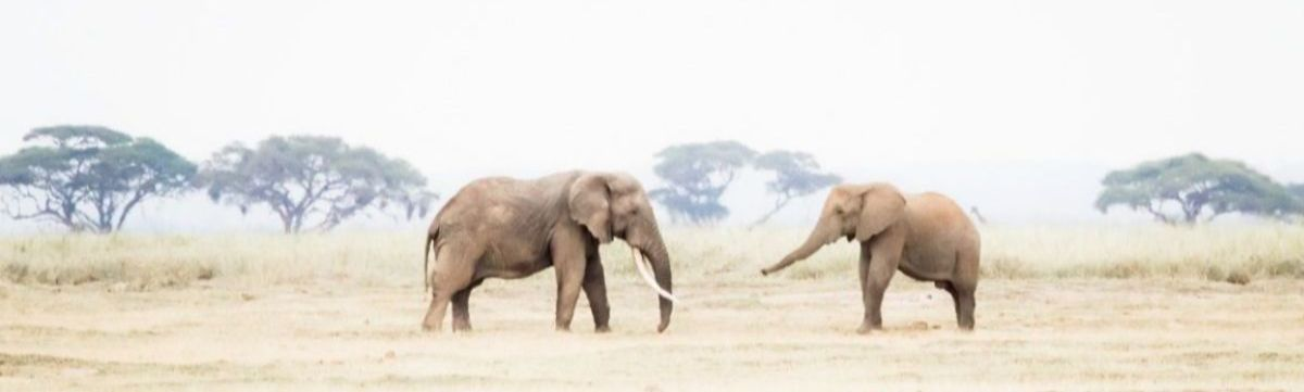 191118 elephants in africa share a moment