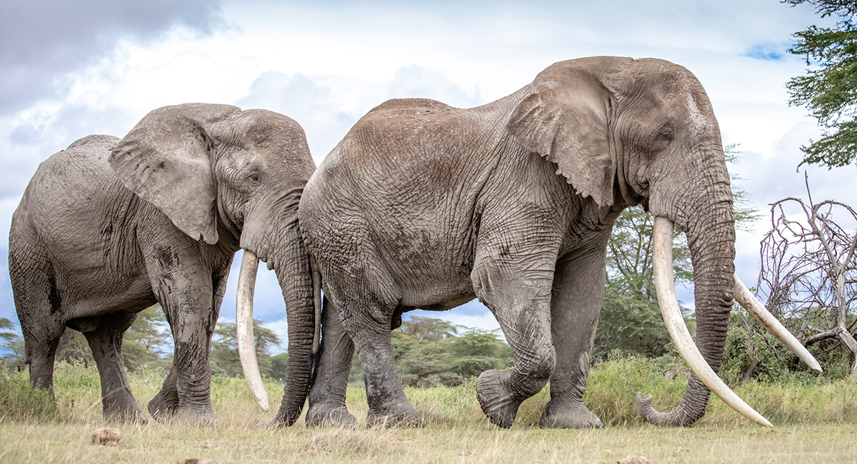 191208 Tim and Tolstoy among the biggest tusks in Africa