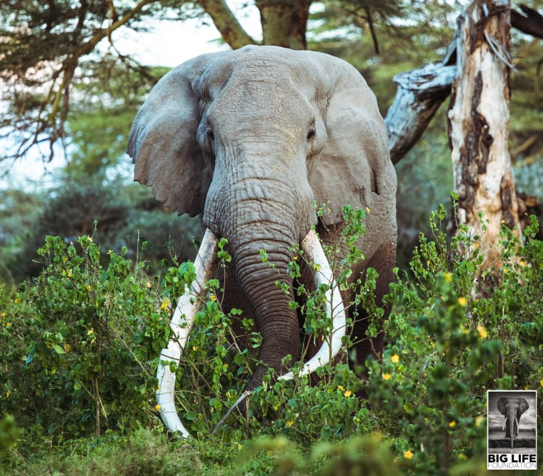 200205 Tim the tusker elephant has passed away