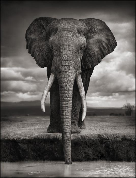 110612 1 2 Elephant Drinking (Igor) Amboseli 2007 Killed by Poachers 2009 (c) Nick Brandt 2011