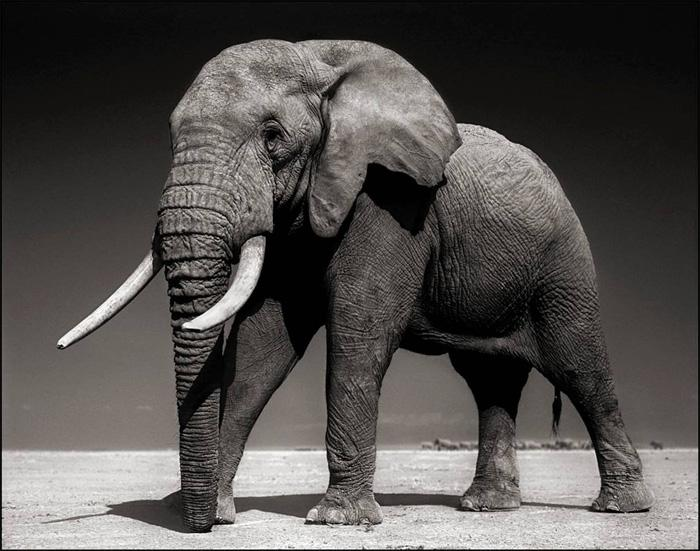 110612 1 5 Elephant with Half Ear (Winston) Amboseli July 2010 Killed by Poachers August 2010 (c) Nick Brandt 2011