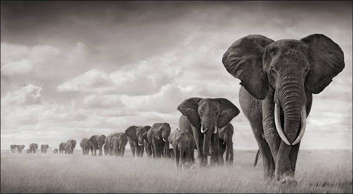 110612 1 6 Elephants Walking Through Grass Amboseli 2008 Leading Matriarch (Marianna) Killed by Poachers 2009 (c) Nick Brandt 2011