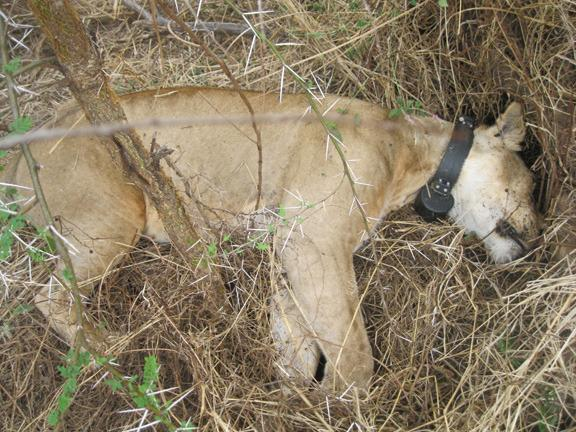 120214 1 1 Big Life Team Saves Pride of Lions from Poisoning by Banned Us Poison