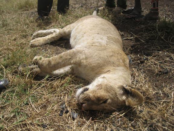 120214 1 2 Big Life Team Saves Pride of Lions from Poisoning by Banned Us Poison