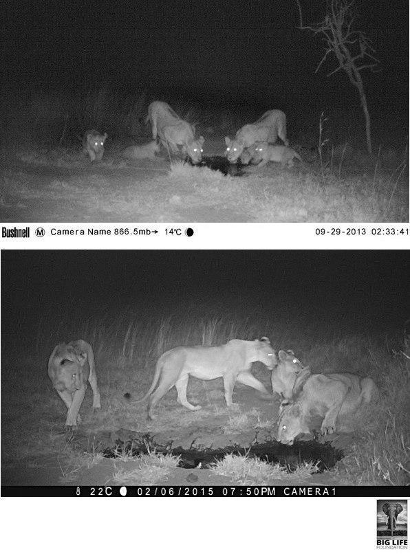 150213 1 1 Predator Compensation the Proof is in the (Lion) Pride