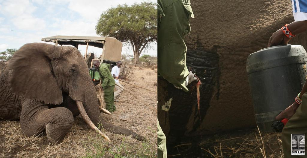 151101 1 1 Elephant Treated After Being Speared in the Back