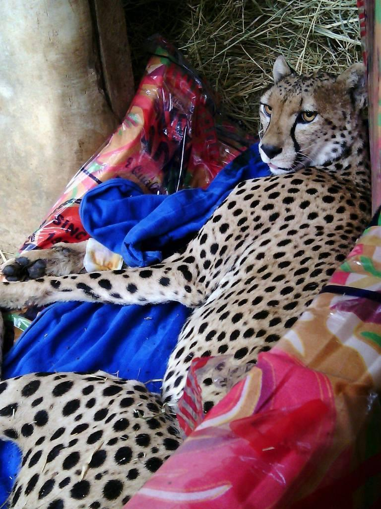 151120 1 1 Rangers Rescue Snared Cheetah