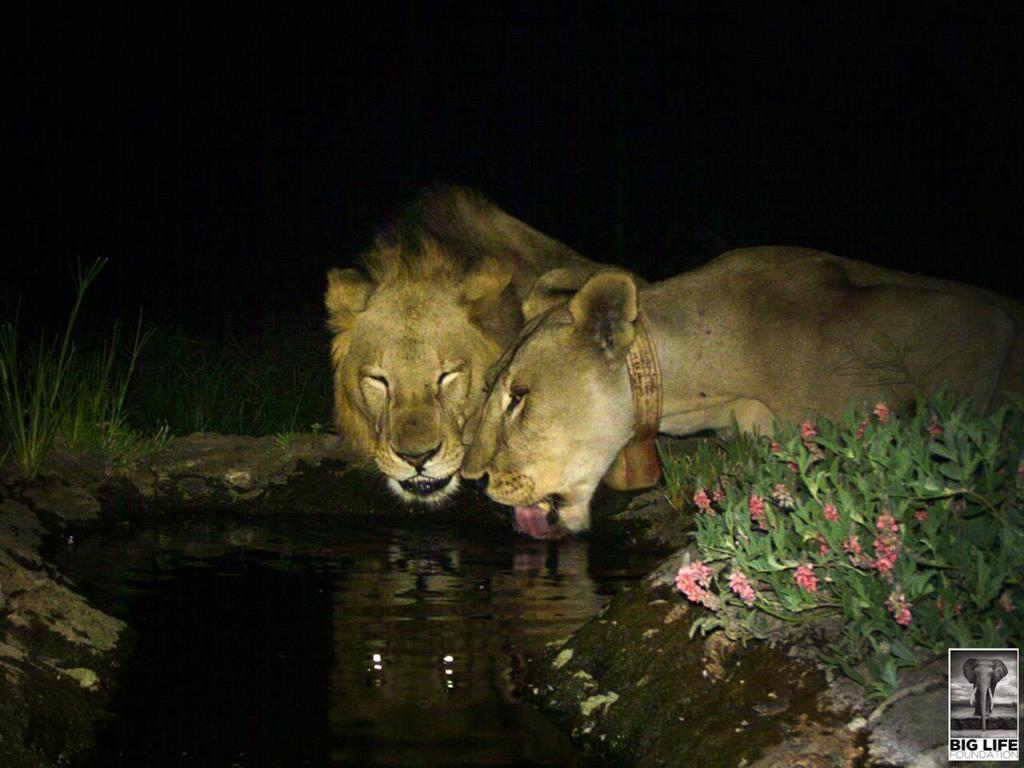 The Mystery of the Missing Lioness