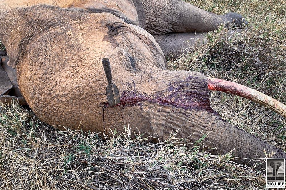 She Was Speared in the Head But This Elephant is Alive