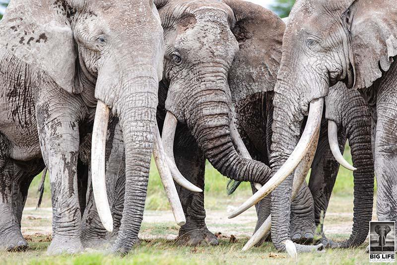 African Elephant Herd stays close to one another