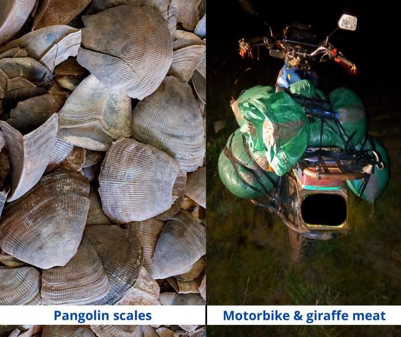 200107 pangolin scales and motorbike with giraffe meat
