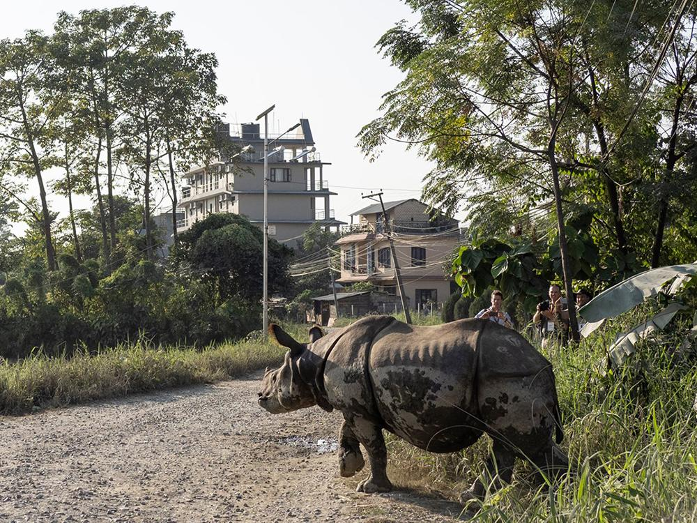200123 rhino walks in the streets of Nepal