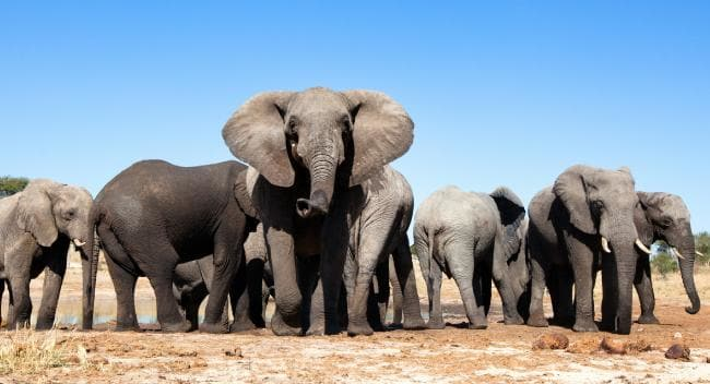 Elephant poaching, Africa Has China's ivory ban stemmed crisis