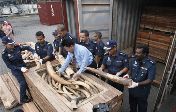 121213 1 1 1500 Elephant Tusks Seized On Way to China Biggest Bust a Sign of Worse Things to Come