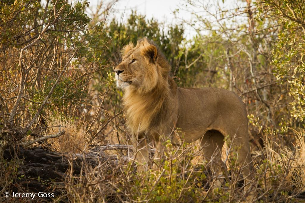 151220 1 1 A Positive Step for the Future of the African Lion