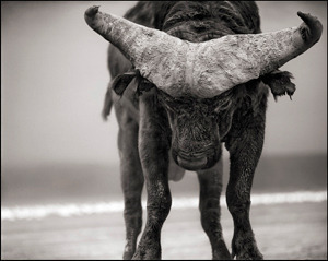 Nick Brandt prints for Big Life water buffalo
