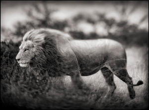 Nick Brandt prints for Big Life lion