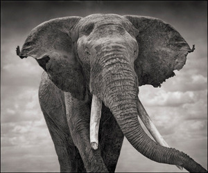 Nick Brandt prints for Big Life - elephant